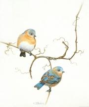 Bluebirds-