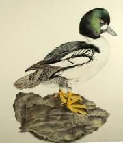 Common-Goldeneye-Bucephala-clangula-