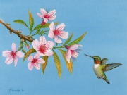 Hummer-and-Cherry-Blosms-