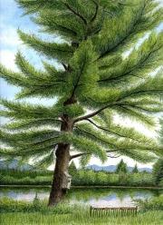 Eastern-White-Pine-Pinus-strobus-