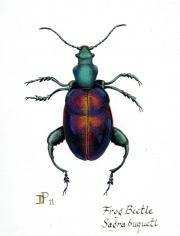 Frog-Beetle-Sagra-buqueti